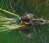 Environmental-park-vilamoura-duck