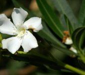 White-flower-in-environmental-park-vilamoura