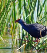 Black-bird-in-environmental-park-vilamoura